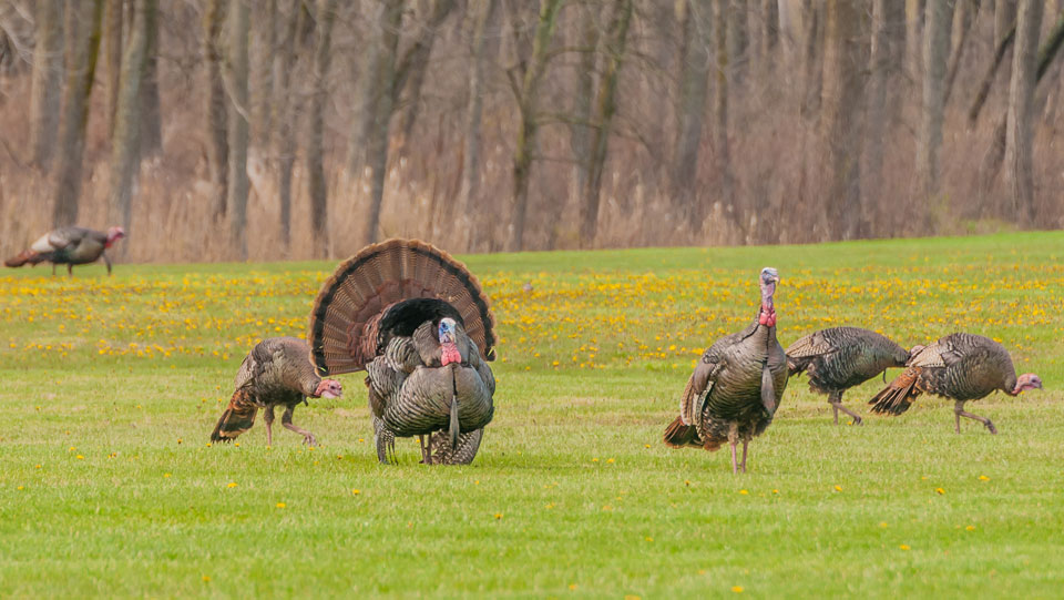 Turkey hunt dates for Midwest Whitetail Adventures.