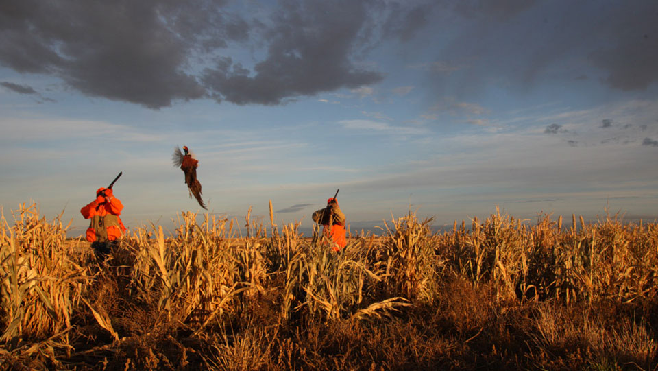Pheasant hunts in Northeastern Kansas.