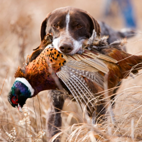 Pheasant hunts with our professional hunting guides in Kansas.